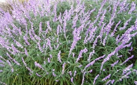 Το φασκόμηλο ένα αρωματικό φυτό που σαν αφέψημα έχει καταπληκτικές θεραπευτικές ιδιότητες